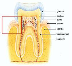 Figuur 1: Gezond parodontium